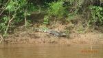 Pampas - Ça commence fort déjà un alligator et c'est pas Willy!