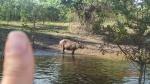 Pampas - Le Capybara est immense