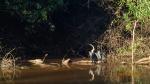 Pampas - un autre héron avec cette fois un alligator