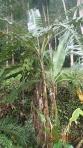 Jungle - Un bananier (les plantations ont des bananes plus grosses)