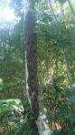 Jungle - observez bien sur l'arbre.... Ben oui des lavres...miam miam!