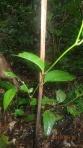 Jungle - En croquant les feuilles de cette plantes, on s'anesthésie localement