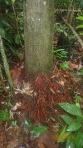 Jungle - Les racines de cette arbre sont utilisés en concoctions pour l'anémie