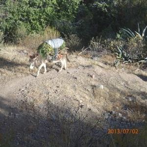 Arequipa - Tour au Cañon del Rio Colca: âne au travail