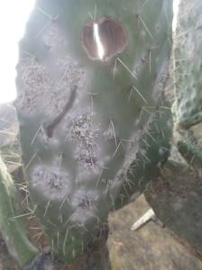 Arequipa - Tour au Cañon del Rio Colca: Les cactus en forme de queue de castor et ses parasites qu'on écrase pour faire des cosmétiques...avant que le dernier président du Pérou exporte ses cactus en europe...les gens étaient payé le double du kilo ramassé..maintenant ça se vend je crois 30-35 Sol du kilo