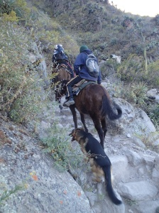 Arequipa - Tour au Cañon del Rio Colca: la remontée par les mules, c'est quand même rassurant...et que ça l'air facile