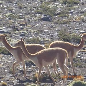 Arequipa - Tour au Cañon del Rio Colca: Les vigognes dont l'espèce est protégé...leur fourrures veut une petite fortune