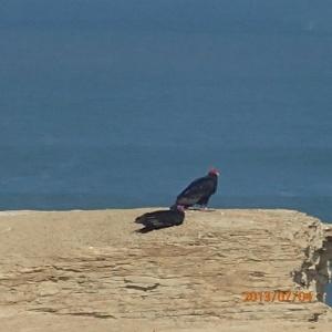 Paracas - 2 des nombreux vautours locaux guettant leur prochain snack de ce que la mer leur enverra...