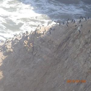 Paracas - Dans la réserve les oiseaux de la place accrochés au récif du bord de mer