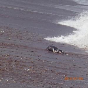 Paracas - ..que voici: un bébé lion de mer rejeté par la mer... la nature est quand même bien faite!