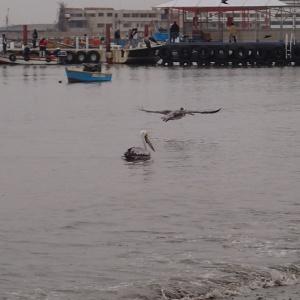 Paracas - et un autre qui s'en va rejoindre la gang...car la pêche se fait en gang!