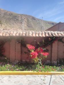 Cusco : Tient si c'est pas nos plantes de Noël : le poinsettia!