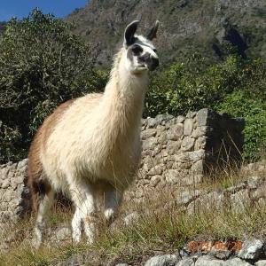 Cusco - Machu Picchu: encre une de ces petites bêtes...saviez-vous qu'il mettent des Lama et non des Alpacas sur le site ? Ben c'est que le Lama lui ne coupe que le gazon et ne l'arrache pas! Pratique, j'en veux un pour la maison, on pourrait se le partager entre voisin de notre rue!
