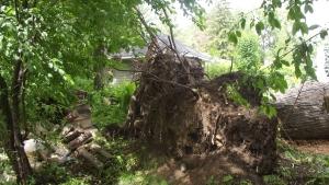 En fait se sont 2 arbres partageant la même souche...pas beaucoup de racines hein! Faut croire aussi qu'avec la mini-tornade de l'an passé sur le golf les avaient affaiblit puisqu'on a été les seuls impactés.